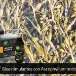 Ascophyllumnodosum propiedades en fertilizantes