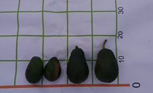 ejemplo de uso Ascophyllumnodosum en aguacate