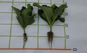 Ascophyllumnodosum alga en fertilizantes para coliflor