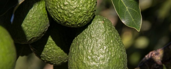 aguacate 4