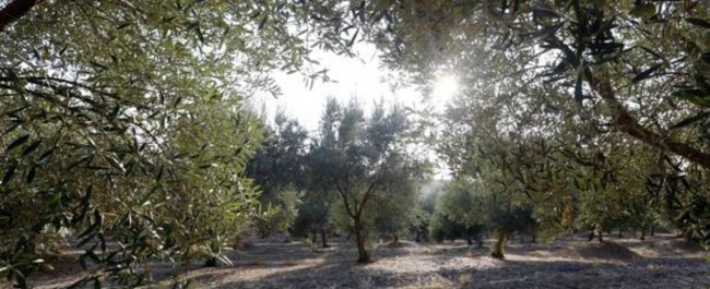 campo olivares andalucia k1qC 1240x698@abc