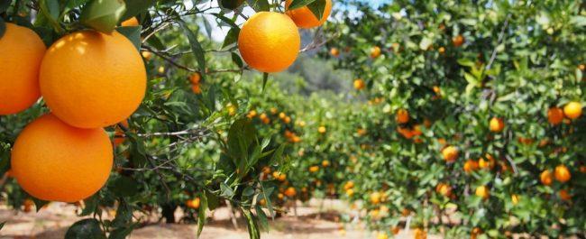 cultivo de citricos